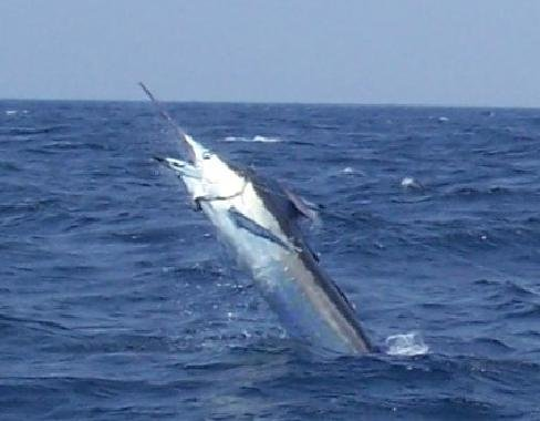 blue marlin the blue marlin is the largest of the marlin family it is ...